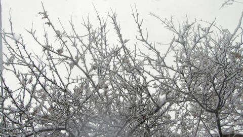 Snow Falling Down Through Tree Branches Covered In Snow Blizzard Background Tilt Footage