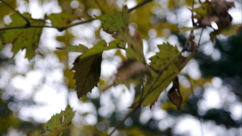 Autumn In Forest, Yellow Leaves, Background, Wind Blowing The Leaves Footage