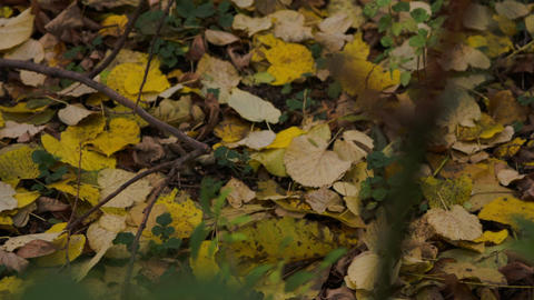 Autumn In Forest, Yellow Leaves, Close Up, Background, Rack Focus Footage