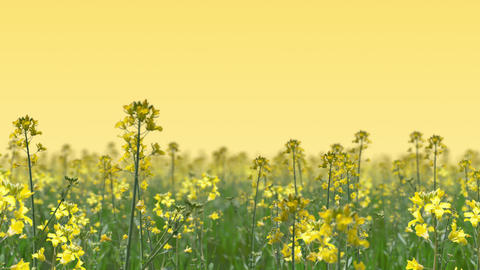 Go through the canola flower field, loop _ yellow background Animation