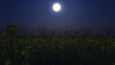 Flying through the canola flower field to the cherry blossom forest _ moonlight night Animation