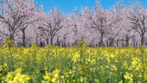 Flying through the canola flower field to the cherry blossom forest _ in Blue sky Animation