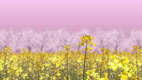 canola flower field and cherry blossom landscape, loop _ pink background Animation