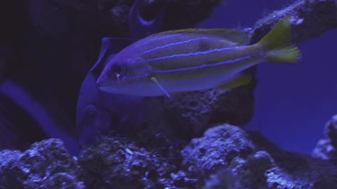 Exotic tropical discus fish in aquarium. Close up of a fish swimming. Tour of Live Action