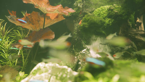 Colorful aquarium fish swimming in a freshwater fish tank. Neon tetra fish Live Action