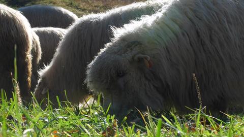 Close up shot of sheep eating herb Live Action