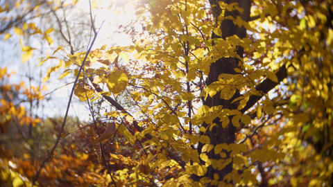 Close up for a tree with autumn leaves, sunlight passing through the leaves Live Action