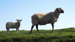 Mother sheep with her lamb scene stock footage Live Action