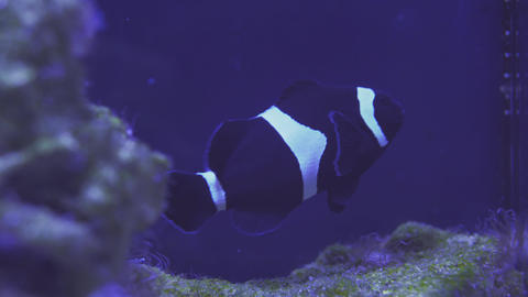 Nemo clown fish in the anemone on the colorful healthy coral reef. Anemonefish Live Action