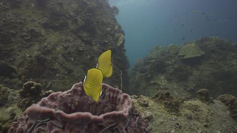 4k SCUBA diving butterfly fish and barrel sponge Live Action