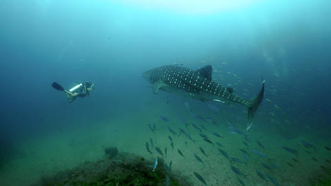 SCUBA diving with whale shark Live Action