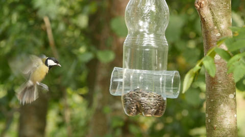 Tit Eating Sunflower Seeds Live Action