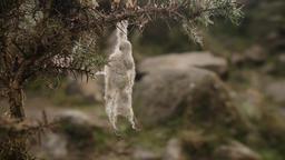 Sheep wool caught on bush moorland scene stock footage Live Action