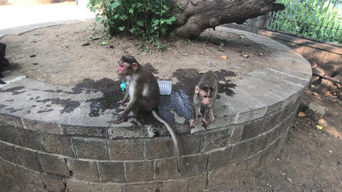 Mumbai, India - The life of monkeys in a natural environment part 4 Live Action