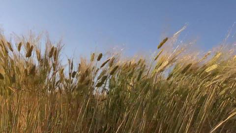 京都・亀岡市の小麦畑 - Wheat fields at Kyoto Japan ライブ動画