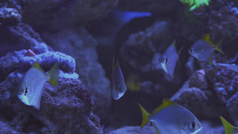 Close up of a fish swimming. Tour of the fish tank. Pisces swim in the aquarium Live Action