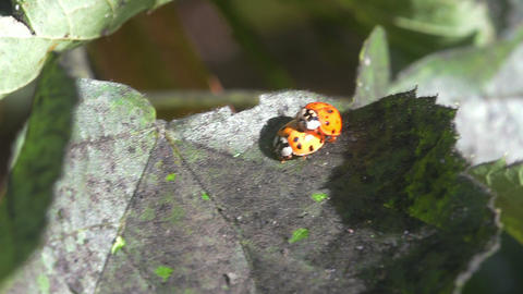two ladybugs on a leaf Footage