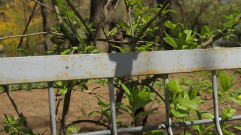 Spring Green Leaves Thru Metal Fence In Town Footage