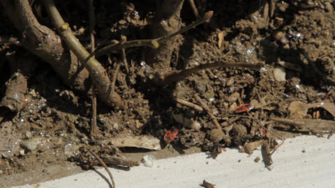 Busy Red Bugs In Dirt, Spring Sun, Nature Reborn, Seasons Footage