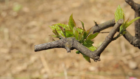 Fresh Green Leaves On A Twig In Springtime Footage