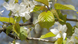 Beautiful White Blossoms Moving In The Spring Warm Wind Footage