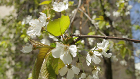 Beautiful White And Delicate Spring Flowers In The Wind Footage