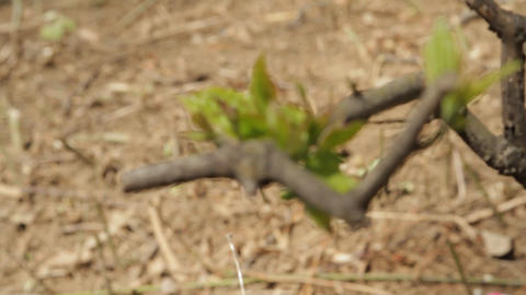 First Fresh Leaves In Springtime Footage