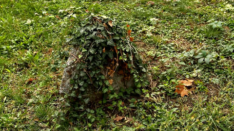 Rock Covered In Ivy, Dried Leaves, Autumn In Park, Pan Footage