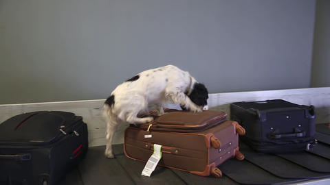 Border dog sniffing suitcases at the airport Live Action