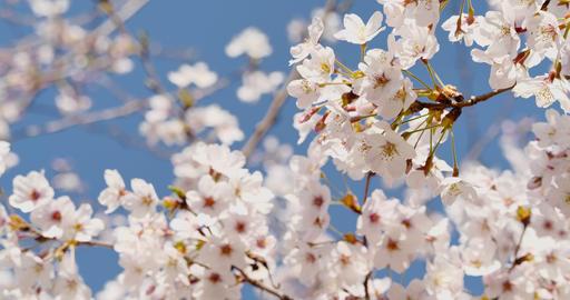 桜の花 ライブ動画