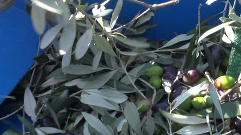 Defoliation of Olives (2) Footage