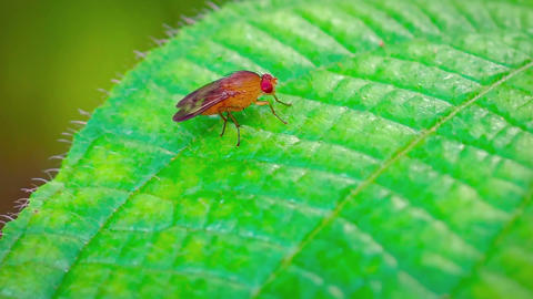 Extreme Closeup of a Tiny Fruit Fly on a Leaf. FullHD video Footage