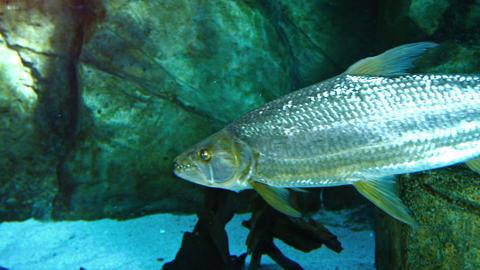 Predatory Tropical Fish with Big Teeth in a Public Aquarium. FullHD video Footage