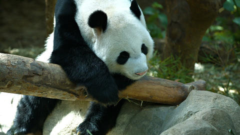 Cute Panda Relaxing on a Log at a Zoo. FullHD video Live Action