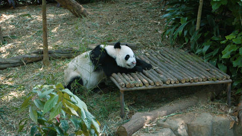 Adult Panda Napping in an Awkward Position. Video Live Action