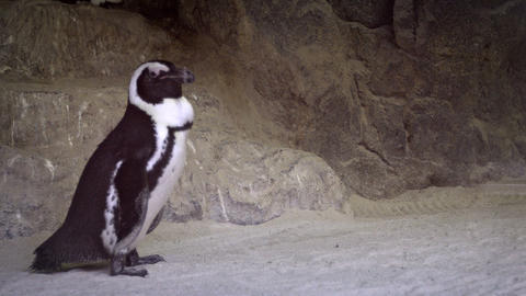 Single Jackass Penguin Waddling Awkwardly at Public Zoo. Video Live Action