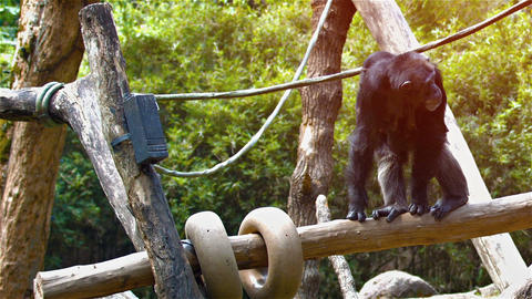 Mother Chimpanzee with Baby Riding Piggyback at the Zoo. FullHD video Footage