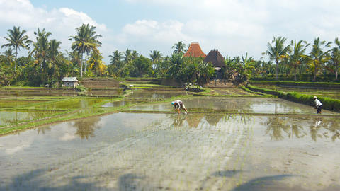 Local workers planting rice stalks in shallow stagnant water of paddy in Bali Footage