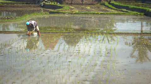 Balinese laborer planting rice in the standing water of a paddy Footage