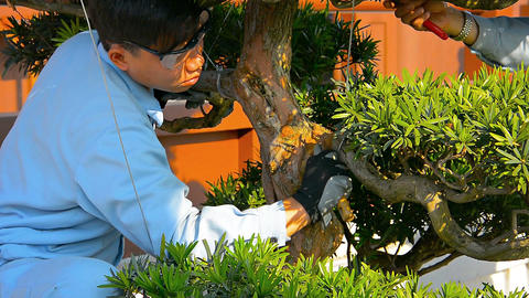Gardeners pruning and maintaining trees at Nan Lian Garden. FullHD video Footage