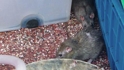 Rats at a Vietnamese Public Market. FullHD video Footage