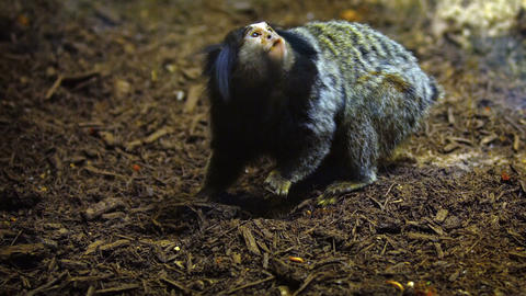 Cute Monkey Foraging for Food. FullHD video Footage