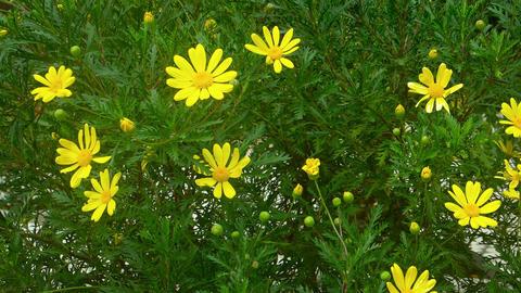 Pretty Yellow Flowers Swaying in a Gentle Breeze. footage Footage