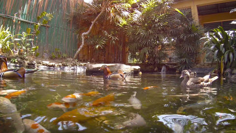 Ducks Herding Koi Fish in a Pond at the Zoo. Video FullHD Footage