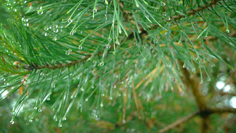 Droplets of Water Clinging to Pine Needles in the Rain Footage