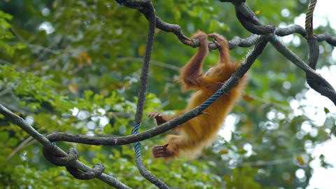 Baby Oragutan Hangs from Tree Branch at the Zoo. FullHD video Footage