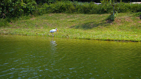 One painted stork walk in the water. FullHD footage Footage
