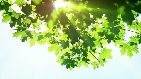 Sunbeams Shine through Maple Leaves in Summer Footage
