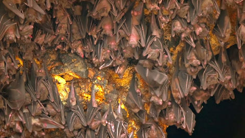 Bats Hanging from Ceiling inside Pura Goa Lawah Temple Footage