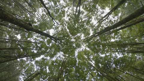Rotating Shot of a Young Forest Canopy from Below. UltraHD video Footage